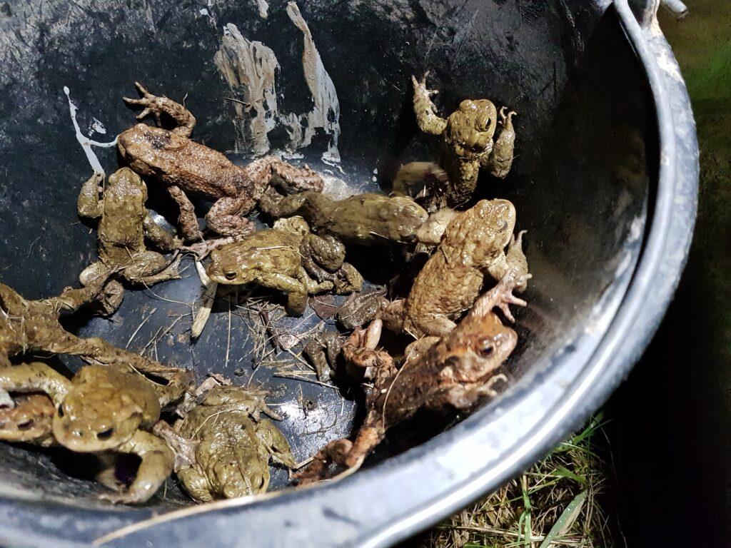 Mehrere gesammelte Kröten in einem Eimer